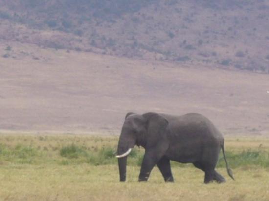 สโตนทาวน์, แทนซาเนีย: Ngorongoro Crater Conservation Area, elephant