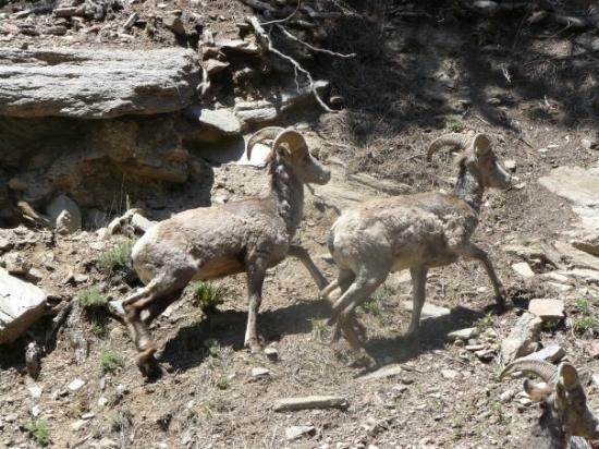 เอสเตสพาร์ค, โคโลราโด: wild goats.