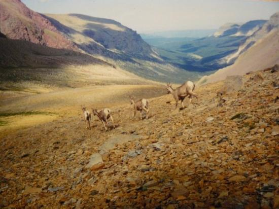 East Glacier Park, มอนแทนา: Mountain goats at Glacier Mountains.