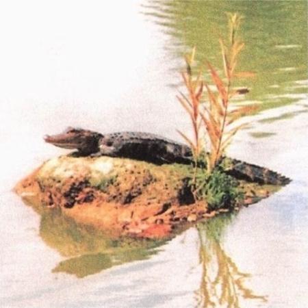 โฮโมซัสซา, ฟลอริด้า: This guy lived in our little lake for a couple of years but then the Forest Rangers came and too