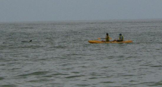 Wyndham Ocean Ridge: Dolphins, playing with the kayakers.