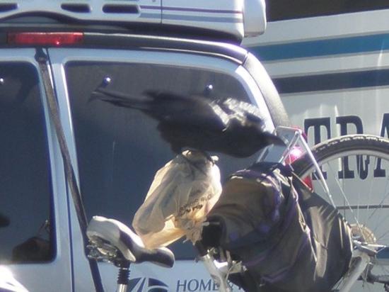 เวสต์เยลโลว์สโตน, มอนแทนา: A crow feeding off someone's bagpack.