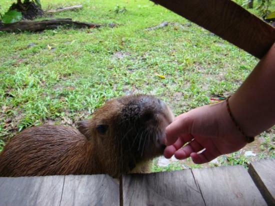 Leticia, โคลอมเบีย: Reserva Maracha (Peru) - mar 21 Pepita la chiguiro chupa dedo de 2 meses