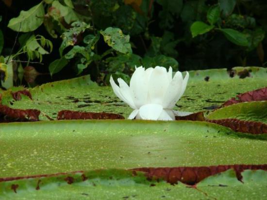 Leticia, โคลอมเบีย: Reserva Maracha (Peru) - mar 21 la flor de loto y las victorias regia