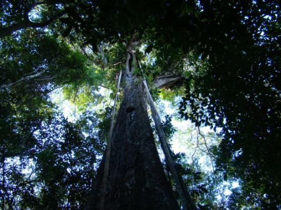 Leticia, โคลอมเบีย: La selva rumbo a Maracha (Peru) - mar 20 2 horas de caminata la famosa ceiba