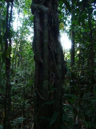 Leticia, โคลอมเบีย: La selva rumbo a Maracha (Peru) - mar 20 2 horas de caminata la abrazadera (para curar de la h
