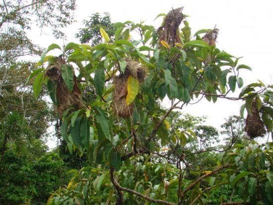 Leticia, โคลอมเบีย: Reserva Maracha (Peru) - mar 21