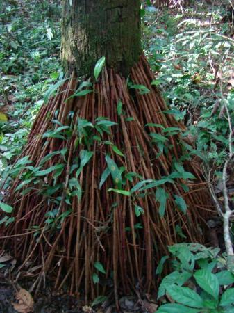 Leticia, โคลอมเบีย: La selva rumbo a Maracha (Peru) - mar 20 2 horas de caminata chuchuwasa (para la artritis)