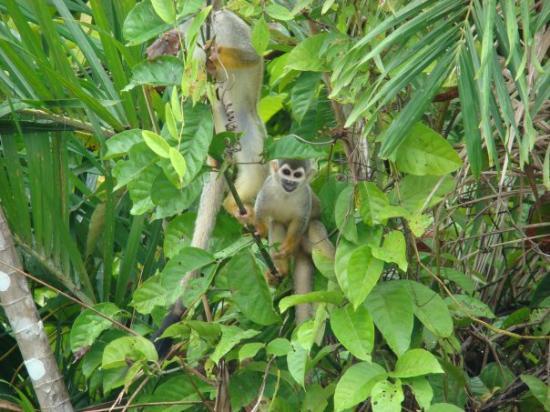 Leticia, โคลอมเบีย: Reserva Maracha (Peru) - mar 21 los miquitos al frente de la reserva