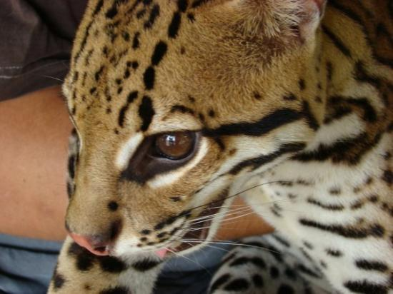Leticia, โคลอมเบีย: Maracha (Peru) - mar 22 un tigrillo amigo