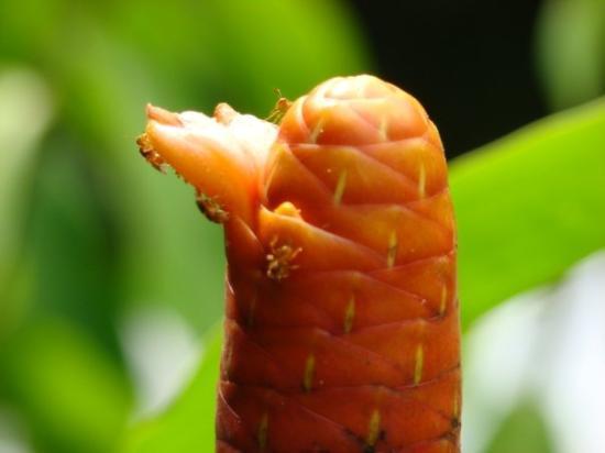 Leticia, โคลอมเบีย: Parque Amacayacu - mar 22 flor el baston del emperador