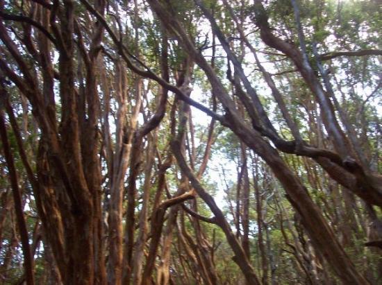ซานคาร์ลอสเดบาริโลช, อาร์เจนตินา: Bosque de Arrayanes... Inolvidable aroma...