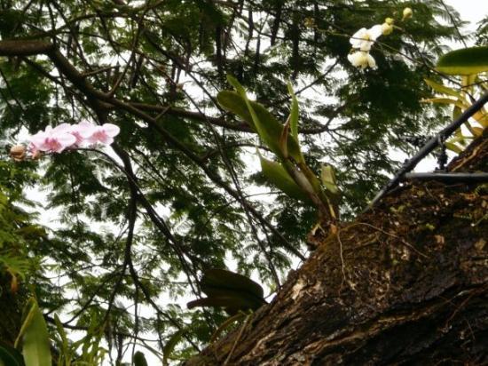 Sainte-Anne, กวาเดอลูป: orchidées