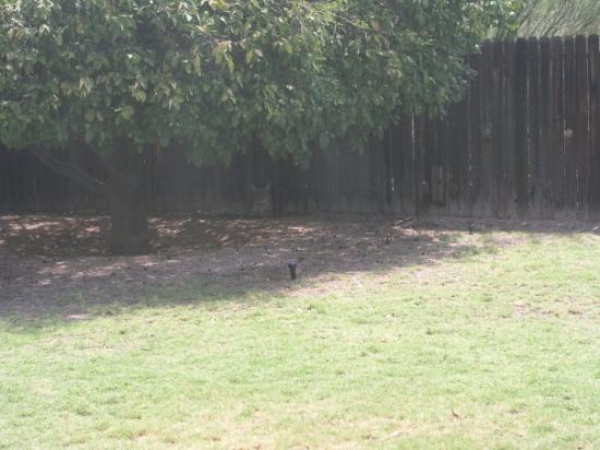 ทูซอน, อาริโซน่า: au fond sous l'arbre près de la palissade il y a un bobcat (sorte de lynx)
