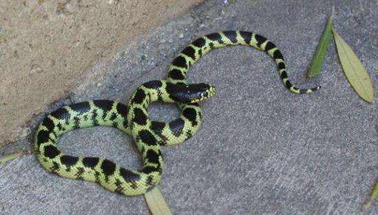 """ทูซอน, อาริโซน่า: et oui, le """"king snake"""" bouge...il était bien vivant"""