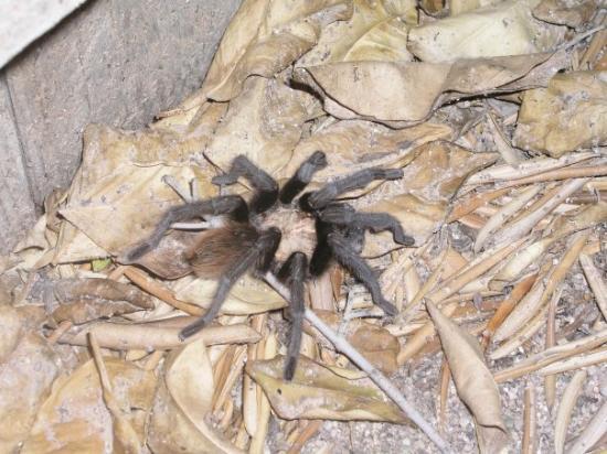 ทูซอน, อาริโซน่า: nos amis les bêtes devant la maison (tarantula)