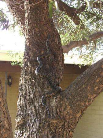ทูซอน, อาริโซน่า: parfois même, il grimpe aux arbres...il faut avoir les yeux partout si on ne veut pas tomber nez
