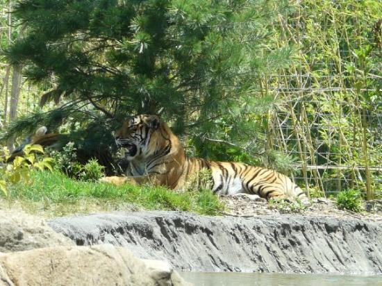 Sedgwick County Zoo: Tiger