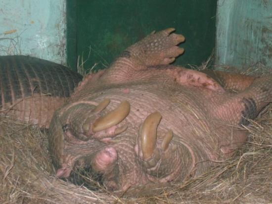 Villavicencio, โคลอมเบีย: El armadillo tambien llamado ocarro, hechad patas arribas