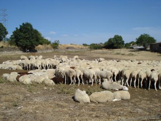 Jaca, สเปน: sheep