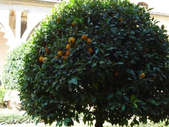 ซาราโกซา, สเปน: orange trees
