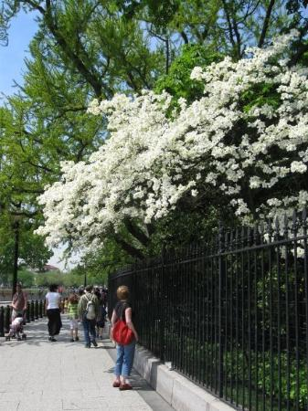 DC By Foot: The dogwood were in full bloom -- beautiful!
