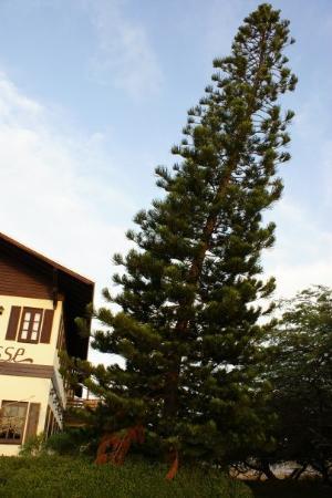 ออรานเจสตัด, อารูบา: No I didn't have too much to drink, the trees are leaning due to the winds