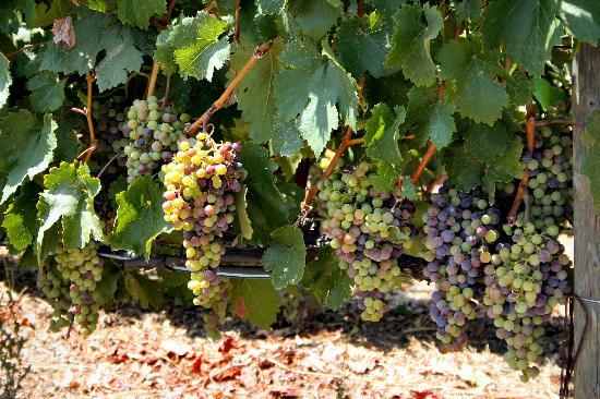 Holiday Inn Express & Suites Napa Valley - American Canyon: Wine grapes on the vine