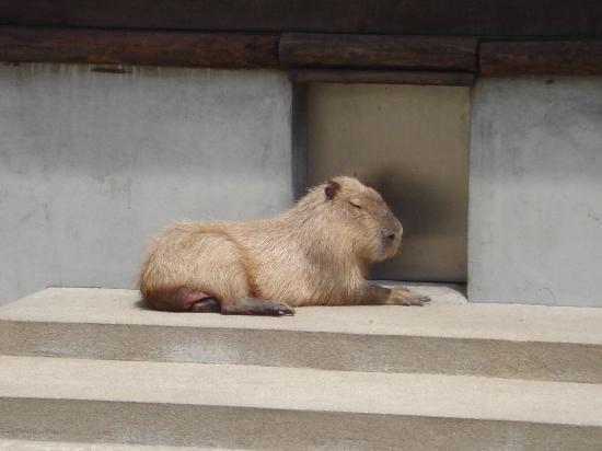 Omoriyama Zoo: カピバラもいます