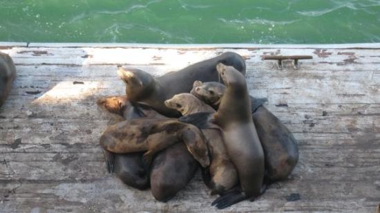ซานตาครูซ, แคลิฟอร์เนีย: sea lions