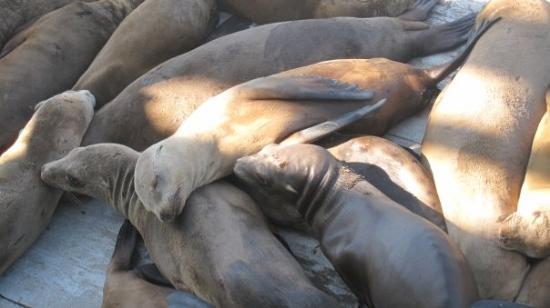 Santa Cruz Wharf: sea lions