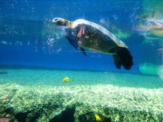 เมาอิ, ฮาวาย: Sea turtles