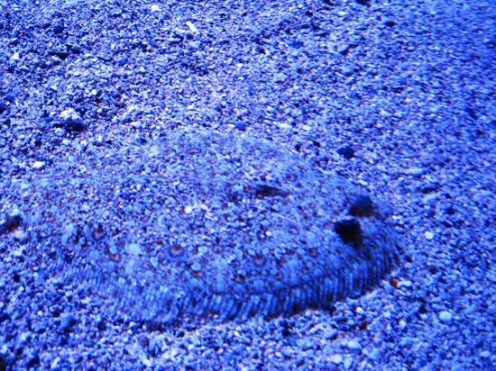 เมาอิ, ฮาวาย: Camoflage fish, blends right in with the sand