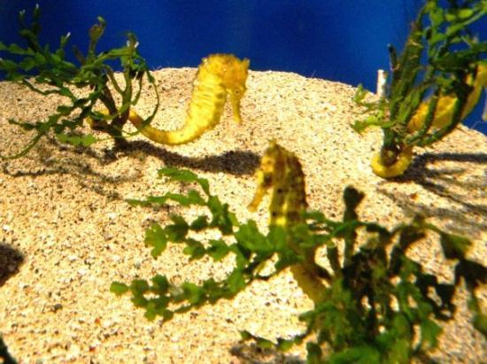 เมาอิ, ฮาวาย: Seahorses