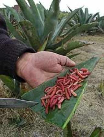 โออาซากา, เม็กซิโก: Gusanos de Maguey.- Forman parte de algunos platillos oaxaqueños y algo que jamás me atrevería a