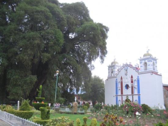 โออาซากา, เม็กซิโก: Árbol de Santa María del Tule (Ahuehuete) Oaxaca