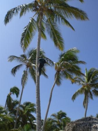 Catalonia Bavaro Beach, Casino & Golf Resort: bajando cocos... de los cuales nunca vimos
