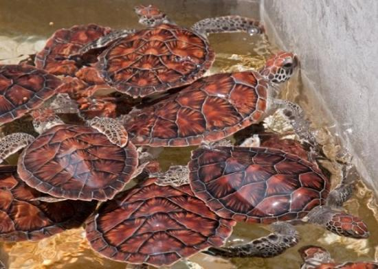 Cayman Turtle Centre: Island Wildlife Encounter: Green Turtles at the Grand Cayman turtle farm, 1 yr olds