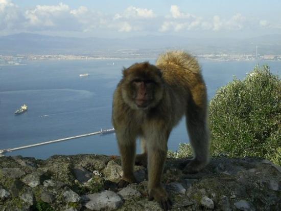 ยิบรอลตาร์: Baboon on Gibraltor