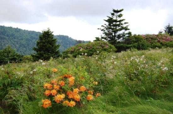 Roan Mountain, เทนเนสซี: Occasionally we saw native flame azaleas dotting the mountainside. The more numerous rhododendro