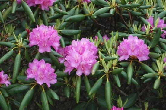 Roan Mountain, เทนเนสซี: Catawba Rhododendron