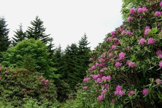 The Roan Mountain ecology is typical of a forest in a Canadian climate. Lots of Rhododendron and
