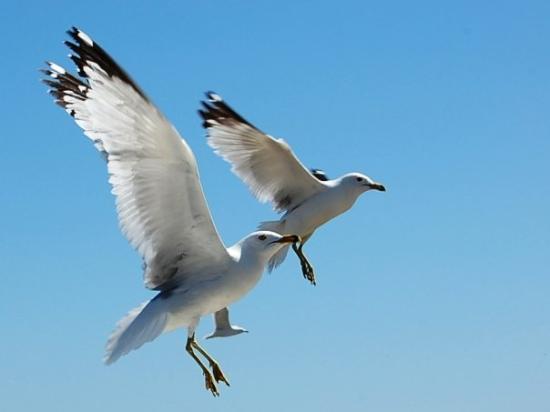 Canal Park: Gulls in flight