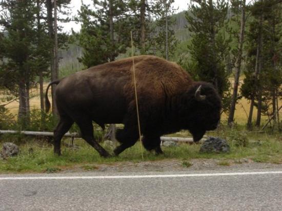 เวสต์เยลโลว์สโตน, มอนแทนา: Buffalo, Yellowstone