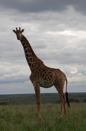 ไนโรบี, เคนยา: Masai giraffe