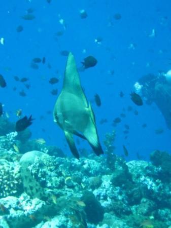 Bunaken Island, อินโดนีเซีย: Batfish