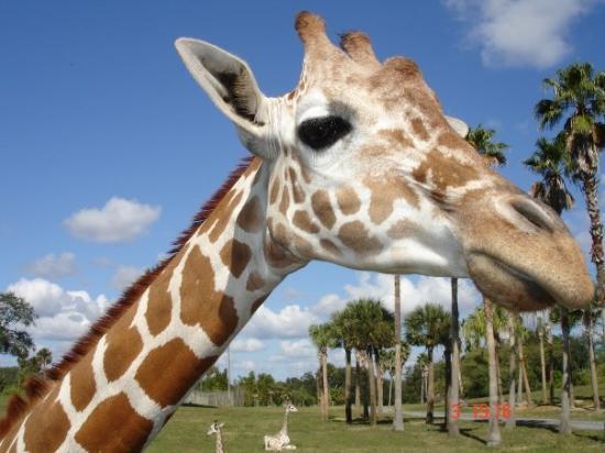 แทมปา, ฟลอริด้า: busch gardens ( open back safari - giraffe)