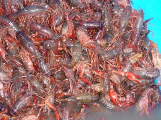 เบอร์ลีสัน, เท็กซัส: Oh that's what it is 32 lbs of craw fish for dinner.
