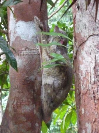 Langkawi, Malaysia: LOS ANIMALITOS.. LEMUR VOLADOR (RATA CON ALAS)