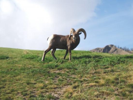 แคมลูปส์, แคนาดา: Big Horn Sheep